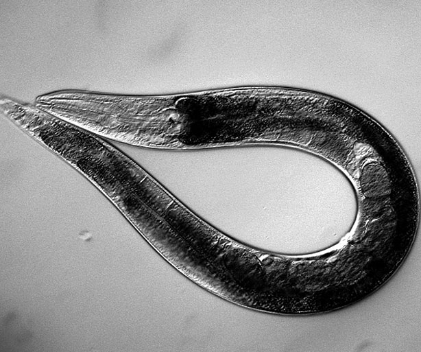 Descubren en nematodos un mecanismo oxidativo de regeneración ...