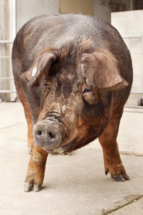 Secuencian el genoma completo del cerdo - Diariomedico.com ...