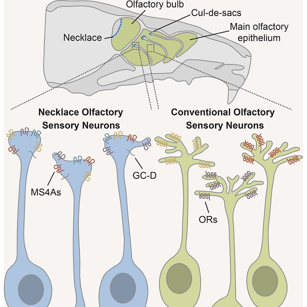 Descubren receptores olfativos alternativos en ratones ...