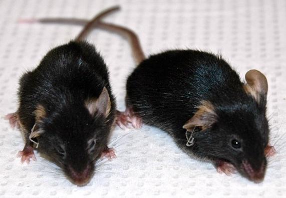 Revierten los signos del envejecimiento en ratones - Diariomedico ...